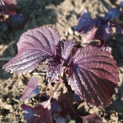 Red Shiso-Basilico giapponese foglie