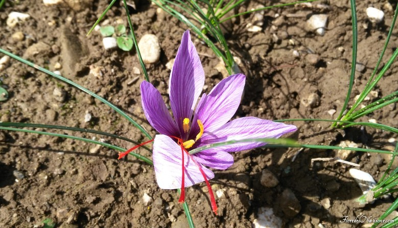 Saffron Flower wide open